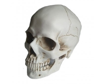 Dekoracija 3D Žmogaus kaukolė; 19x16x20cm